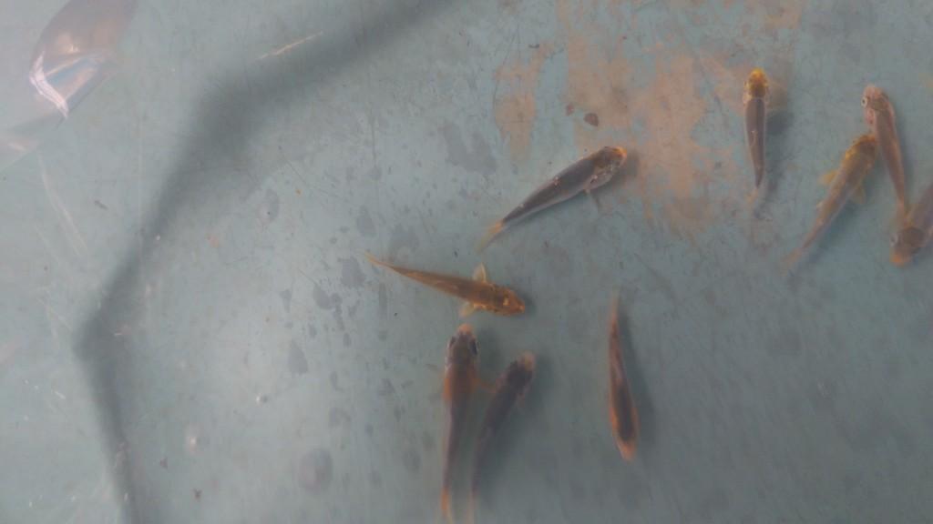 DSC_0676.jpg稚魚①